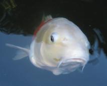 Roy, the coy carp